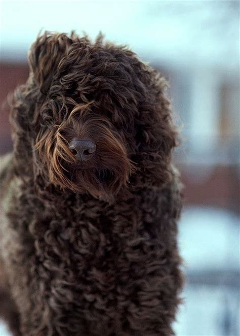 brown goldendoodle puppies brown goldendoodle puppies www imgkid the image kid has it