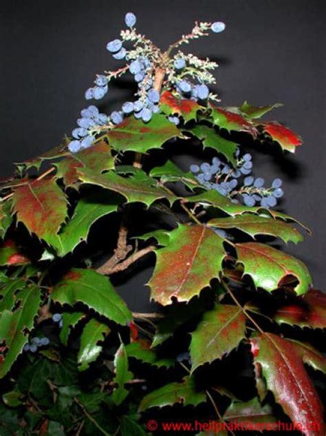 schmieriger stuhl therapeutika mahonia aquifolium