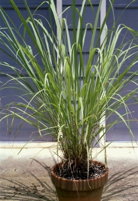 plants to keep mosquitoes away plants to keep mosquitos away summer