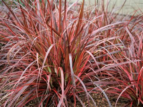 ornamental grasses grasses for landscaping hgtv - Rotes Gras