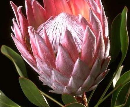 protea fiore protea 2030 pollicegreen