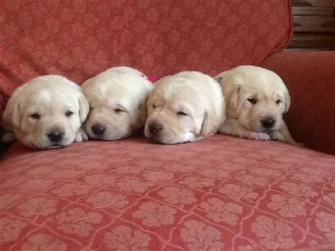 golden labrador retriever puppies for sale golden retriever x lab puppy for sale on breeds picture