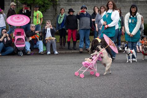 pug crawl portland pug crawl oregon humane society s 12th annual pug crawl lovett