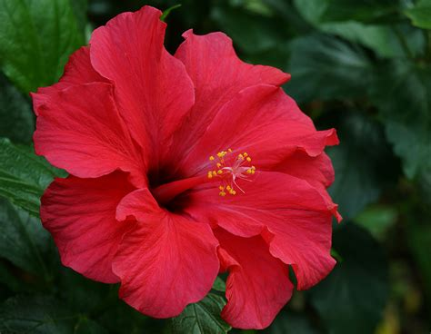 photos of flowers photos of colombia flowers hibiscus rosa sinensis