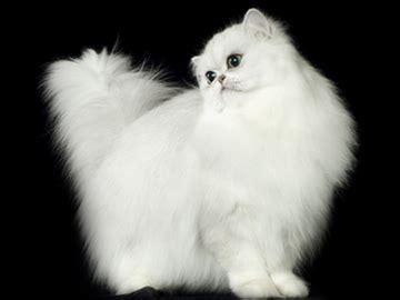 nomi per gatti persiani risultati espositivi gattipersiani it gatti persiani
