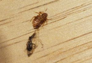 squashed bed bug what s that bug page 2 of 4212 are we experts yet