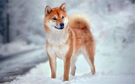 all about the shiba inu shiba inu information breed atlas