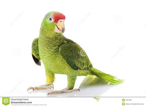 imagenes de loritos verdes www ecosdemiciudad com un loro declara ante polic 237 a india
