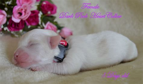 coton puppies available pedigree coton de tulear puppies available newport isle of wight pets4homes