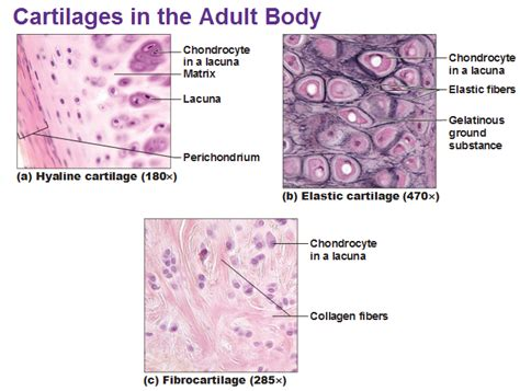 cartilage diagram cartilage and bones