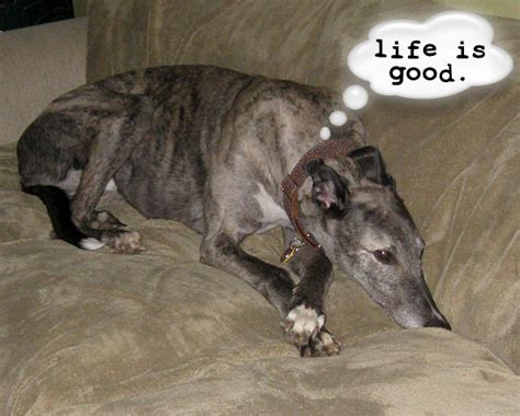sighthounds on sofas sleeping arrangements aboutvetmed com