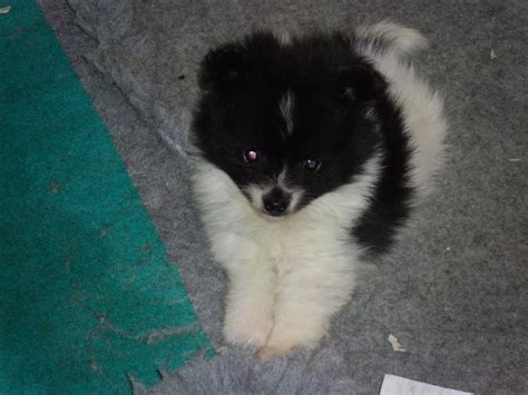 german spitz puppies for sale german spitz puppy for sale spalding lincolnshire pets4homes