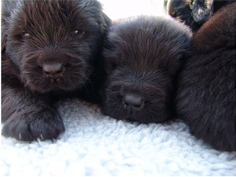 how much are newfoundland puppies newfoundland puppies in brown looking at the jpg hi res 720p hd