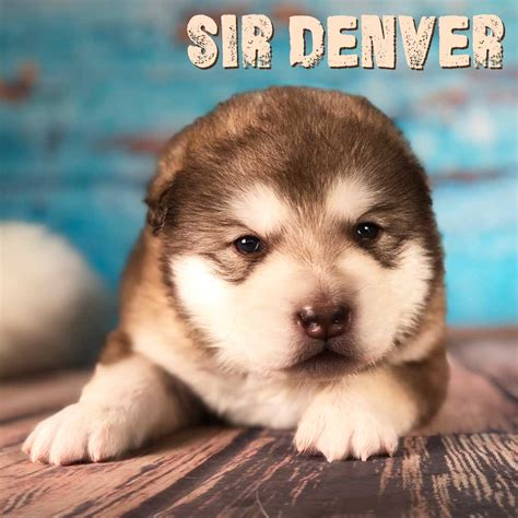 puppy denver sir denver is a and alaskan malamute puppy he is available