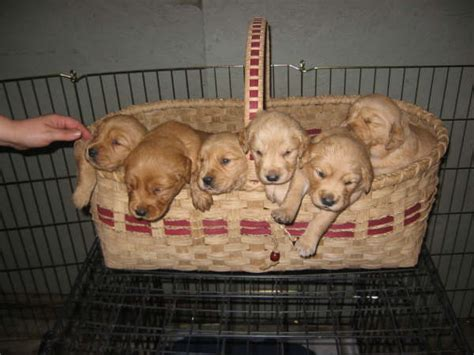 golden retriever puppies for sale in iowa golden retriever puppies for sale smiling pet services