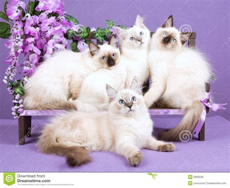 banco de imagenes royalty free ragdoll kittens on mini bench with flowers royalty free