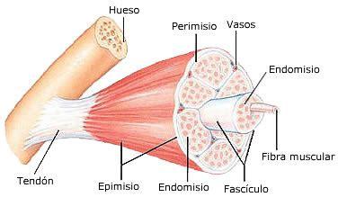 cuales son las cadenas musculares pdf elongaci 243 n por biomec 225 nica desarrollo desaprendizaje y