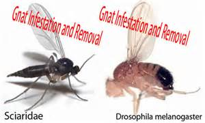 What Causes Fruit Flies Gallery For Gt Fungus Gnats Vs Fruit Flies