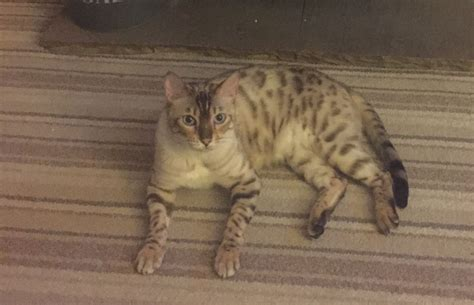 seal lynx point spotted snow bengal kitten by junglelure bengals of seal lynx point snow bengal braintree essex pets4homes