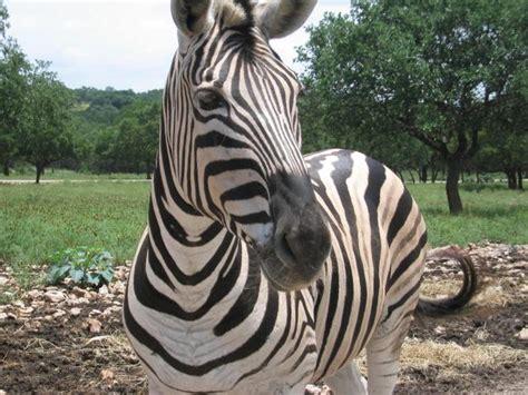 file zebra jpg