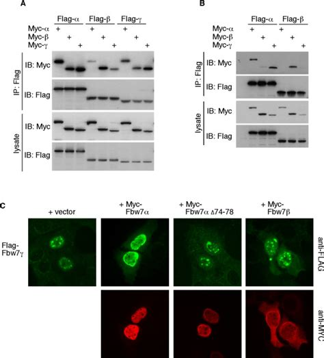 f box protein fbxw7 fbxw7 antibody f box wd repeat containing protein 7