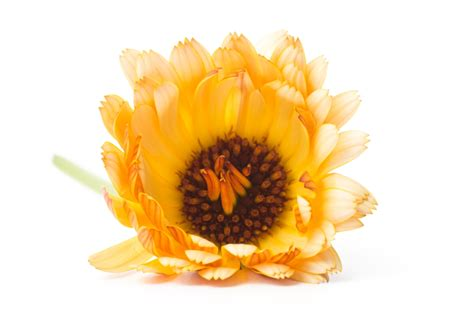 Recipes With Root Vegetables - calendula flower just picked