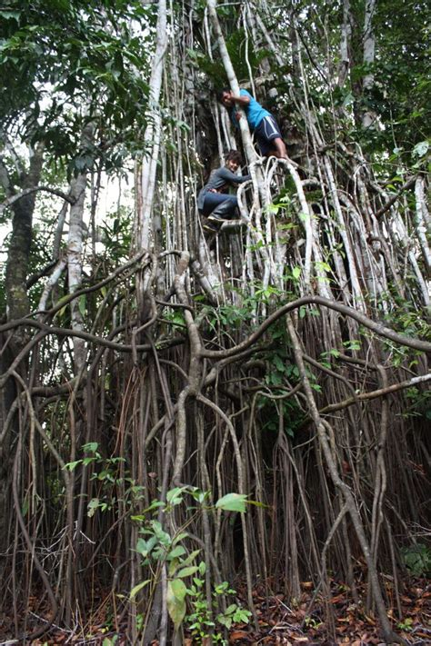 Wi Mba by Wimba Tree Iquitos Peru River Loreto
