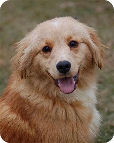 mn golden retriever rescue oliver adopted mora mn golden retriever sheltie shetland sheepdog mix