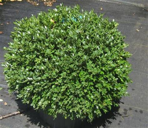 17 best ideas about green velvet boxwood on pinterest boxwood landscaping low maintenance