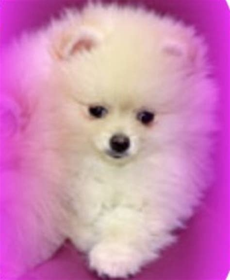 wolf colored pomeranian wolf color pomeranian