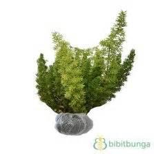 Tanaman Aglaonema Anggun Ayu Cilik tanaman aglaonema bidadari bibitbunga