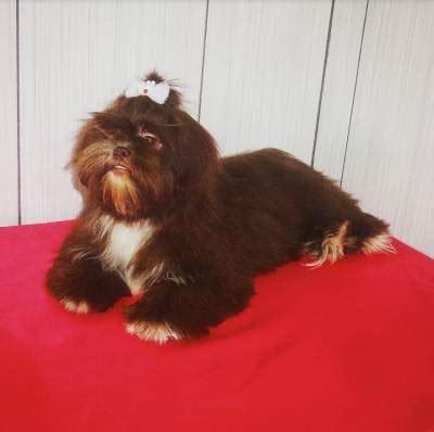 shih tzu filhote chocolate lindo filhote de shih tzu f 234 mea chocolate r 900 00 diadema cachorros animais de