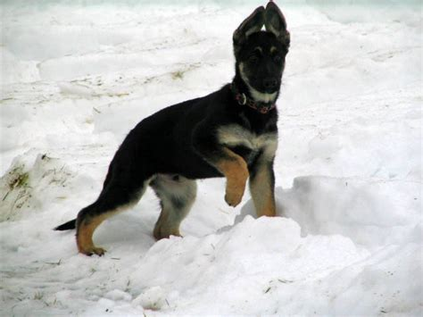 german shepherd puppies for sale in maine akc german shepherd puppies for sale adoption from anson maine adpost