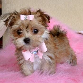 raising a teacup yorkie a morkie puppy maltese x yorkie i think i just found