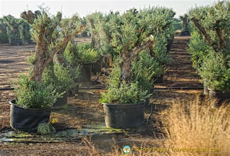 when do live trees go on sale pots of olive trees for sale