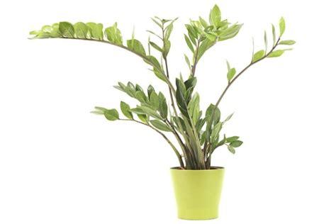 piante verdi da appartamento foto piante verdi da appartamento foto benessere leonardo it