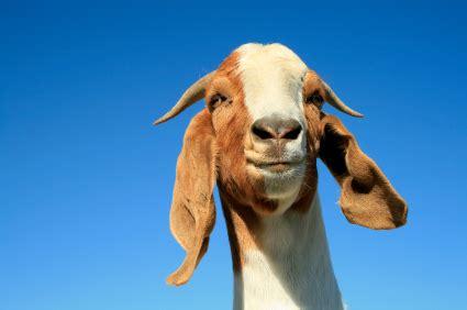 goats give birth