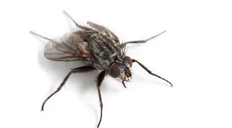 house flies house fly control search results million gallery