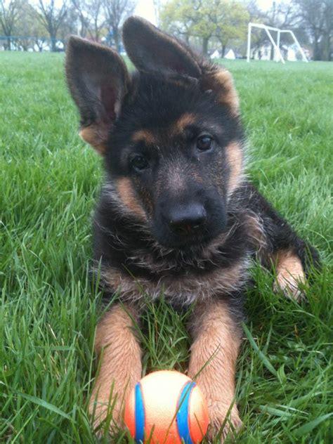 puppies rockford il german shepherd puppies rockford il photo