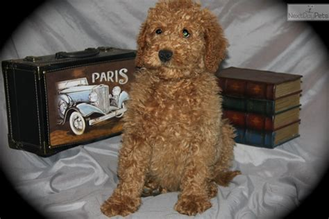 goldendoodle puppies dallas goldendoodle puppy for sale near dallas fort worth 4290867a fc71