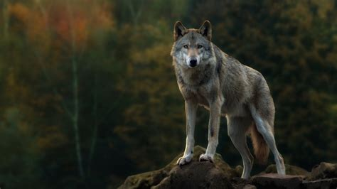 On Wolf lone wolf wallpaper 57 images