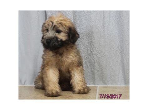 petland ohio puppies soft coated wheaten terrier petland carriage place