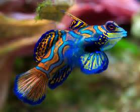 colored fish mandarinfish mandarin dragonet facts pet care diet