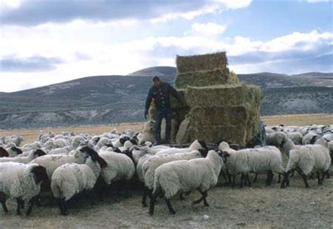 sheepherding: sheepherders of northern nevada, a