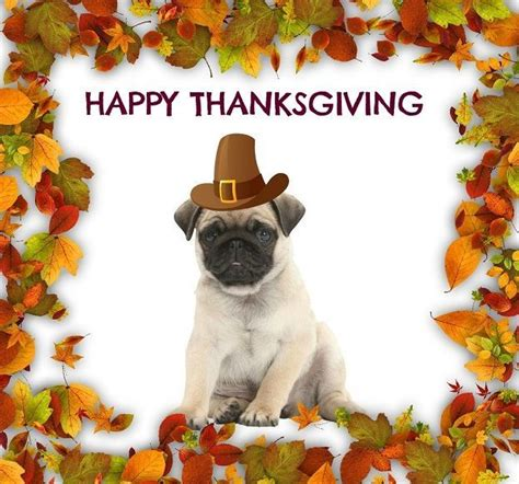 thanksgiving puppy 1231 best images about pug puppies on pug