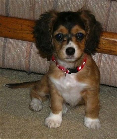 cocker spaniel and pomeranian mix 12 chihuahua cross breeds you to see to believe