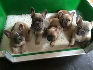 Frenchie puppies puppy love pinterest