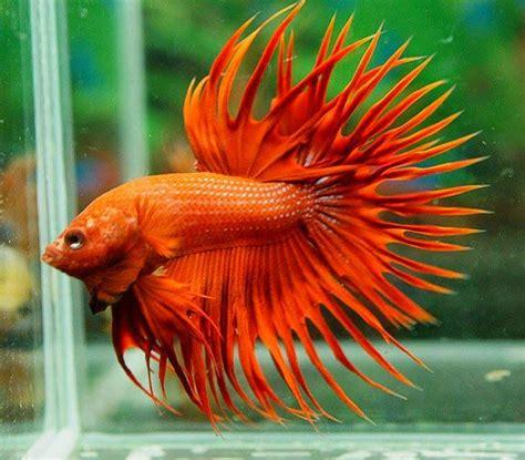 king bett king betta fish related keywords king betta fish