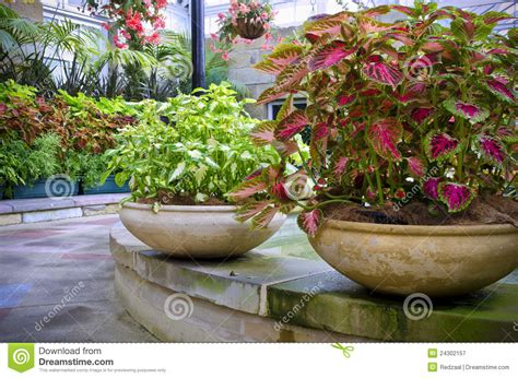 Beautiful Planters by Beautiful Potted Coleus Plants Stock Image Image 24302157