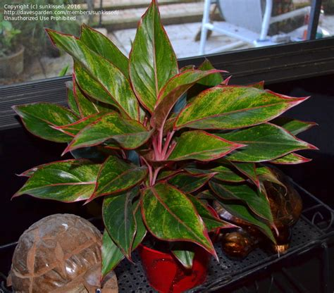 Aglonema Ruby plantfiles pictures evergreen aglaonema siam aglaonema aglaonema
